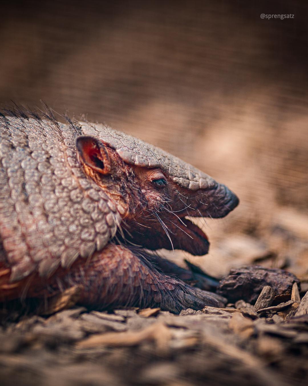 Das Braunborsten-Gürteltier oder Braunhaar-Gürteltier (Chaetophractus villosus) ist der größte Vertreter der Borstengürteltiere und lebt hauptsächlich im südlichen Bereich von Südamerika, östlich der Anden.