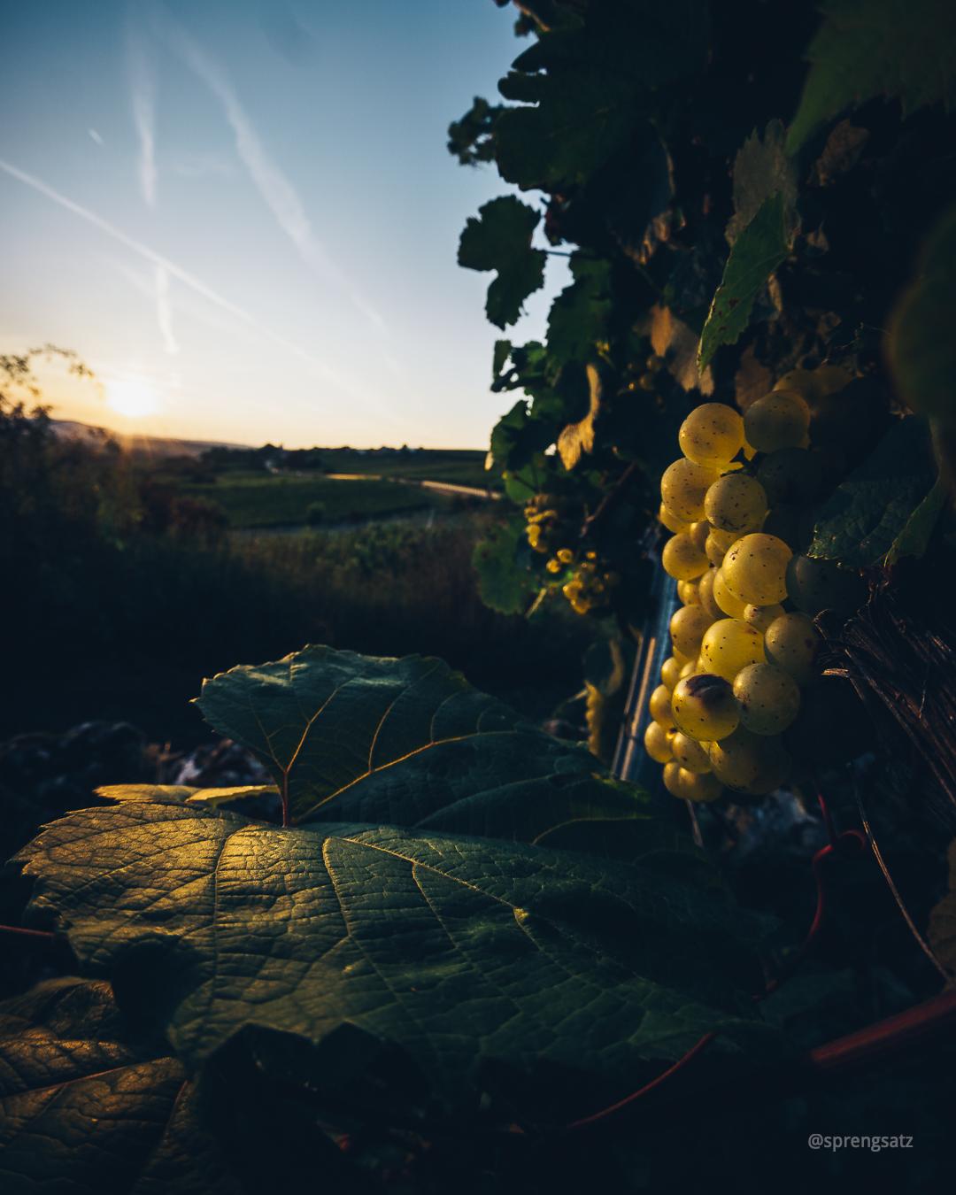 Trauben an einer Weinrebe im Zellertal bei Sonnenuntergang