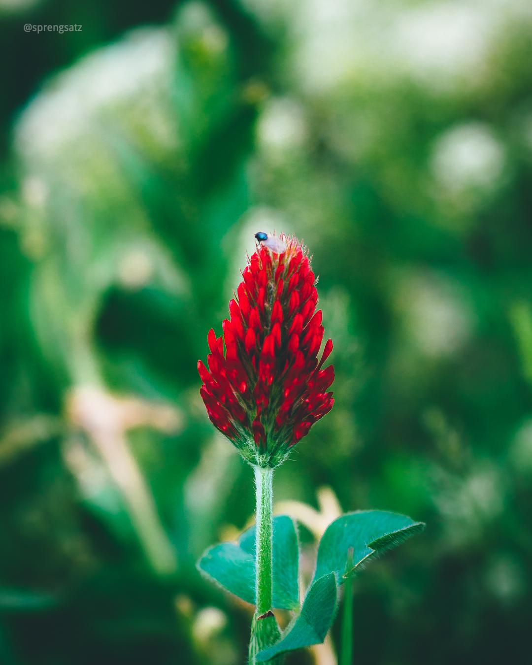 Rosenkleeblüte (Macro)