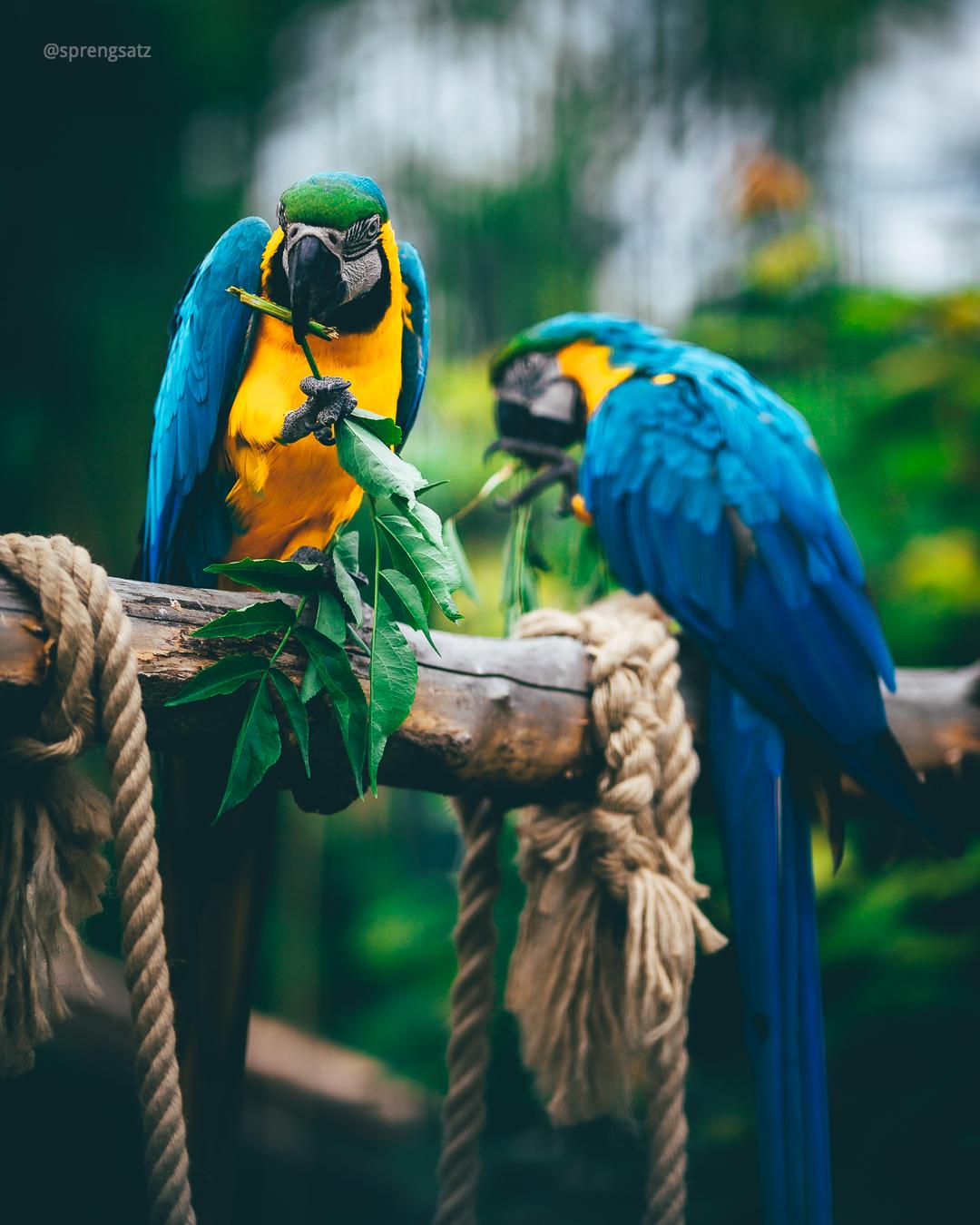 Der Gelbbrustara (Ara ararauna) ist eine Papageienart der Gattung der Eigentlichen Aras (Ara)