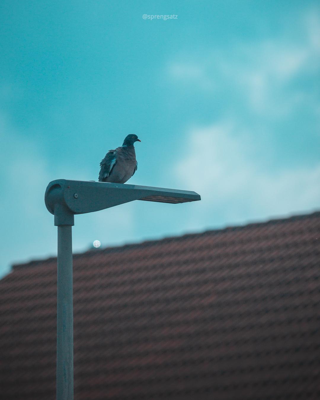 Ringeltaube sitzt auf Straßenlaterne vor blauem Himmel
