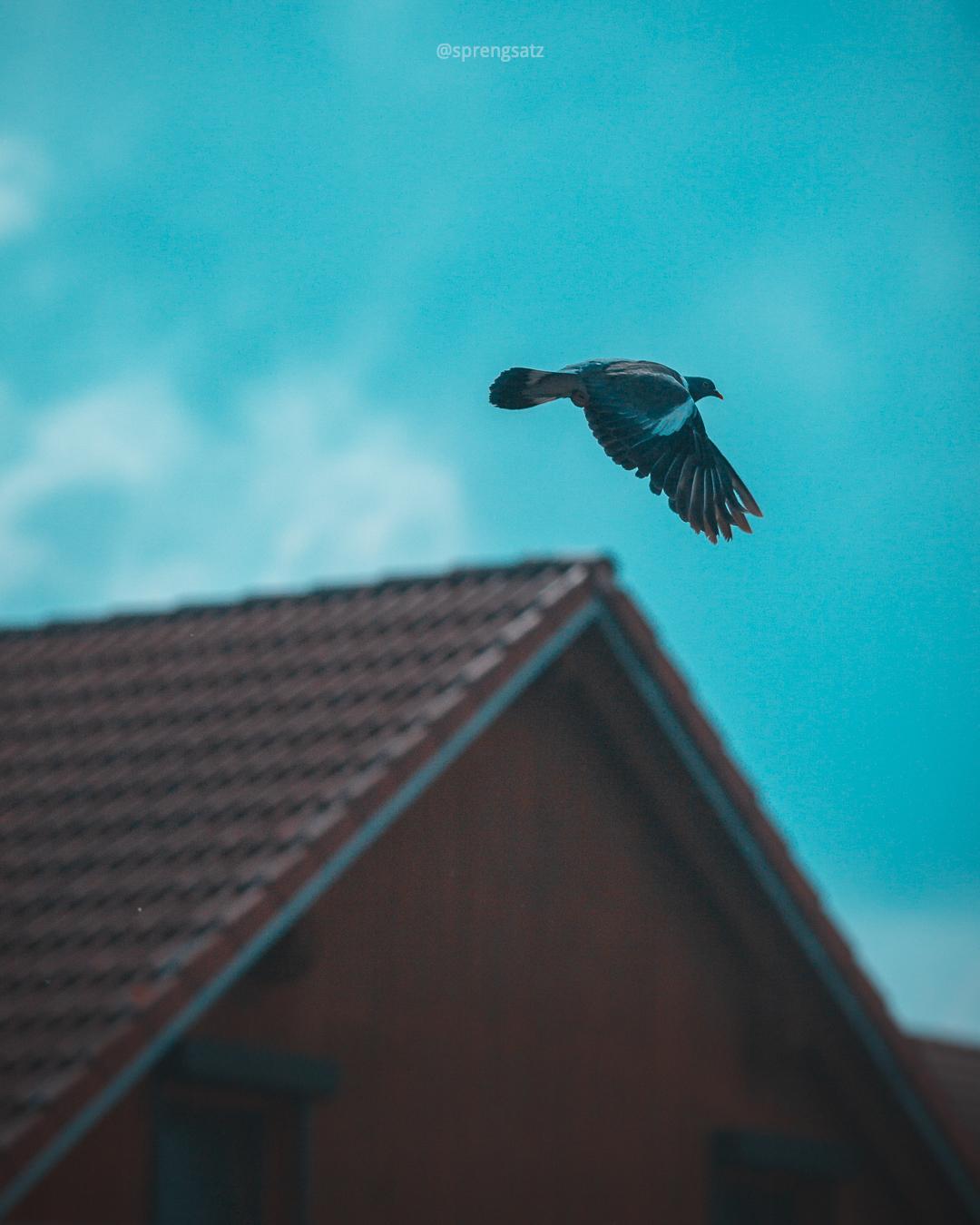Ringeltaube im Flug vor blauem Himmel und Hausdach