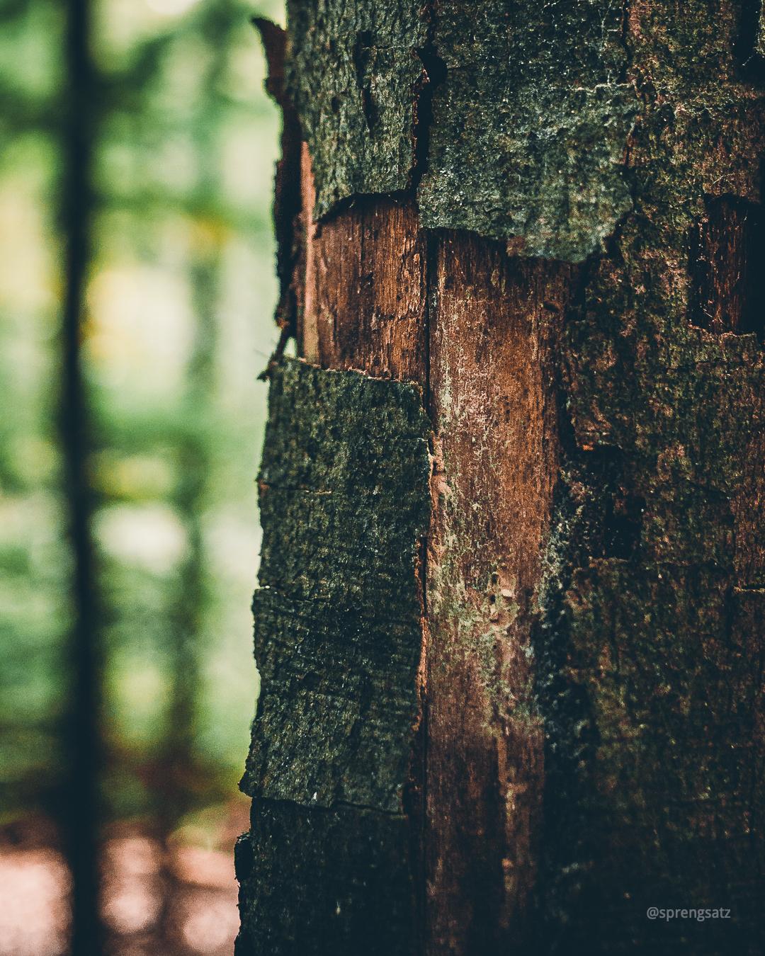 Leichter Schaden an einer Baumrinde im Göllheimer Wald