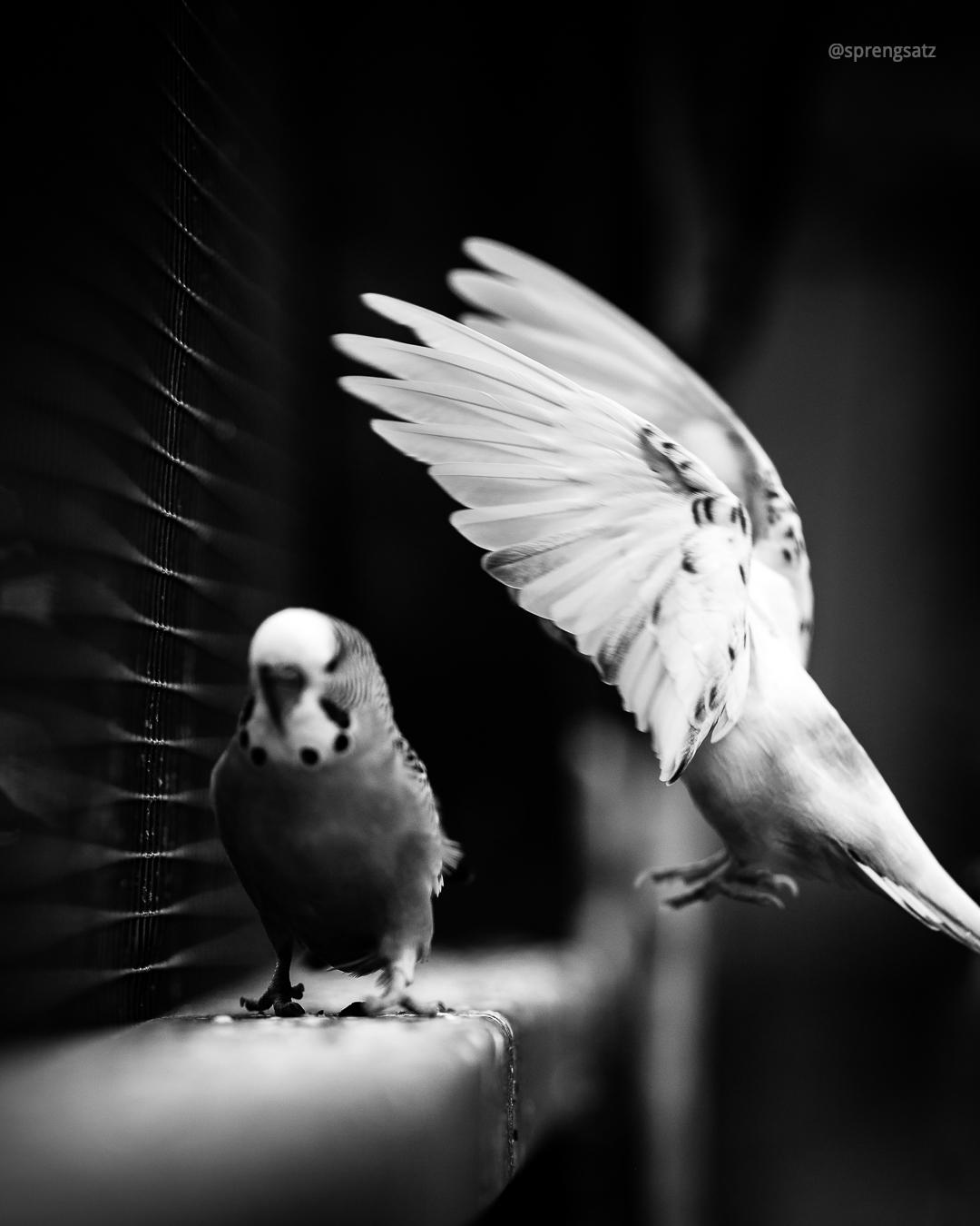 Der Wellensittich (Melopsittacus undulatus) ist eine Vogelart, die zur Familie der Eigentlichen Papageien (Psittacidae) gehört.