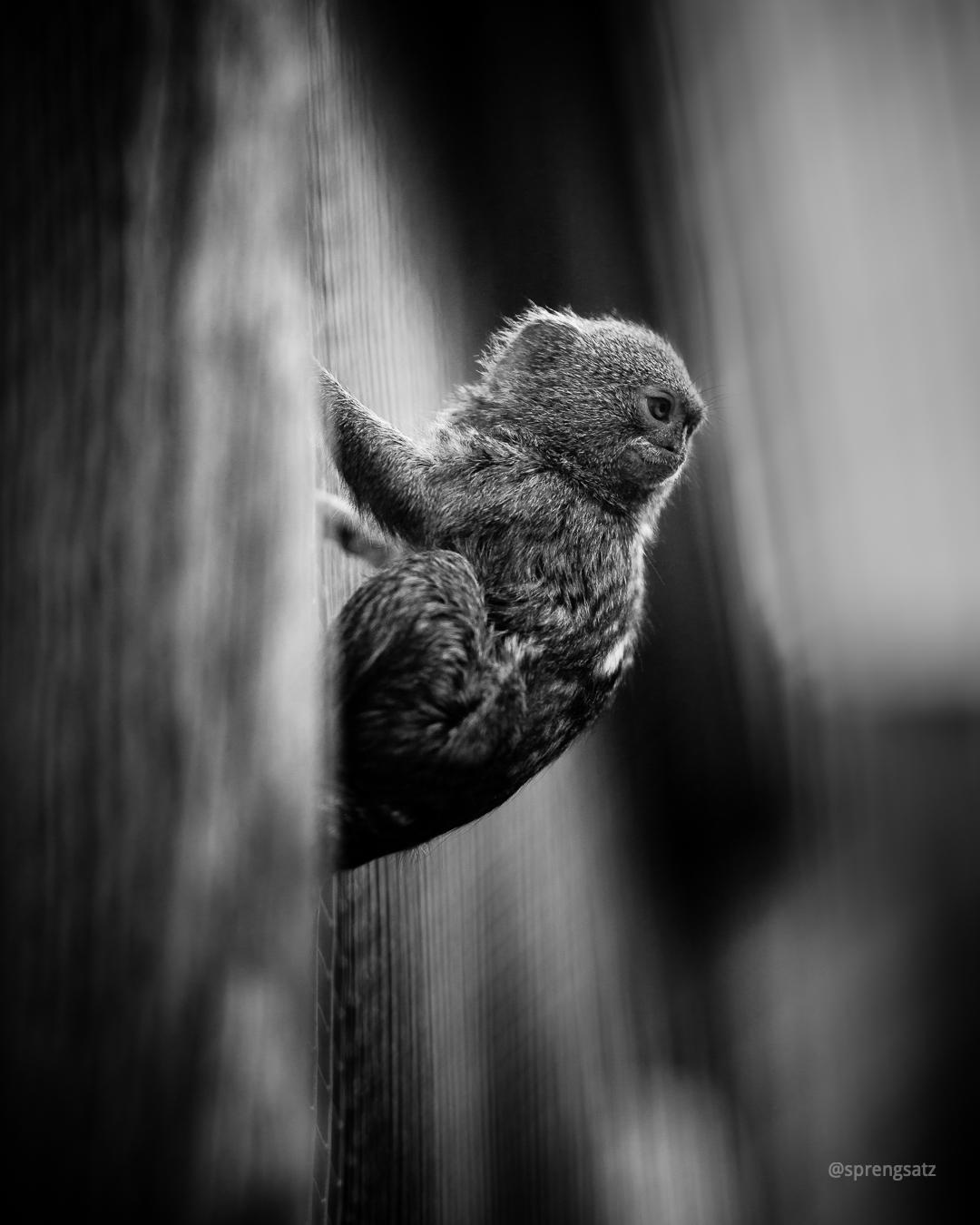 Das Zwergseidenäffchen (Cebuella pygmaea) ist eine Primatenart aus der Familie der Krallenaffen.