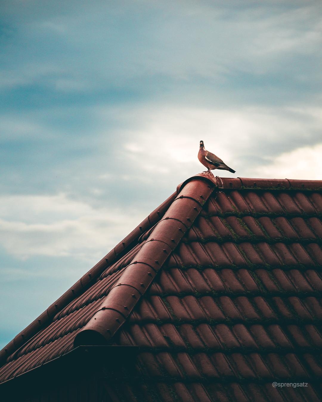 Ringeltaube sitz auf Hausdach in Albisheim