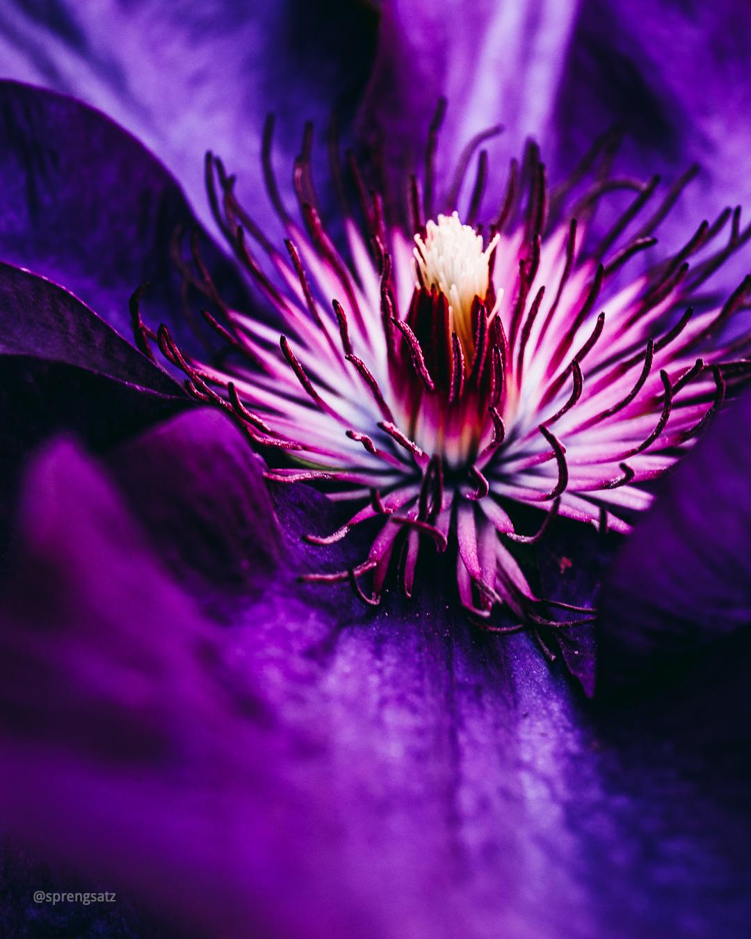 Macroaufnahme einer lilafarbenen Waldrebenblüte (Clematis)