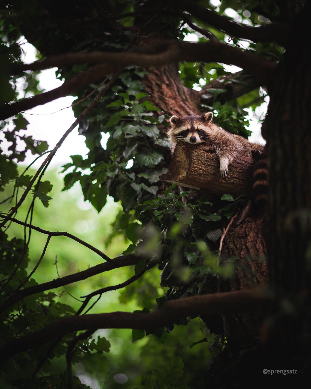 Ein Waschbär bei der Mittagsruhe in den Baumkronen im Tiergarten Worms
