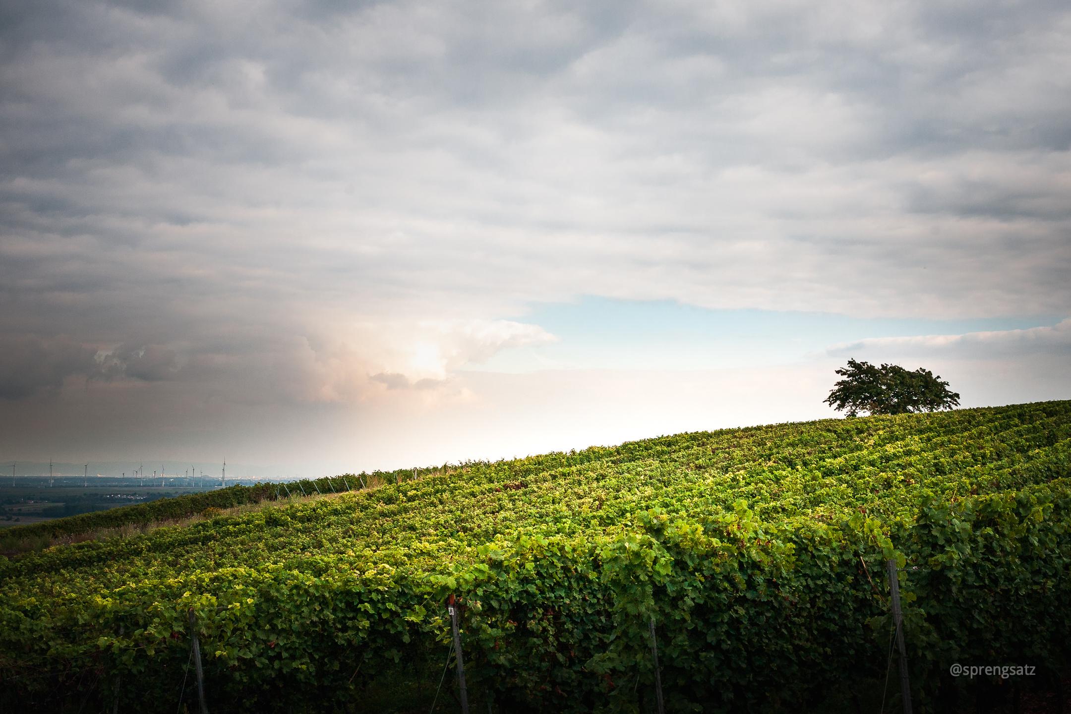 Weinberge mit Weinreben bei Bockenheim an der Weinstraße (Kreis Bad Dürkheim)