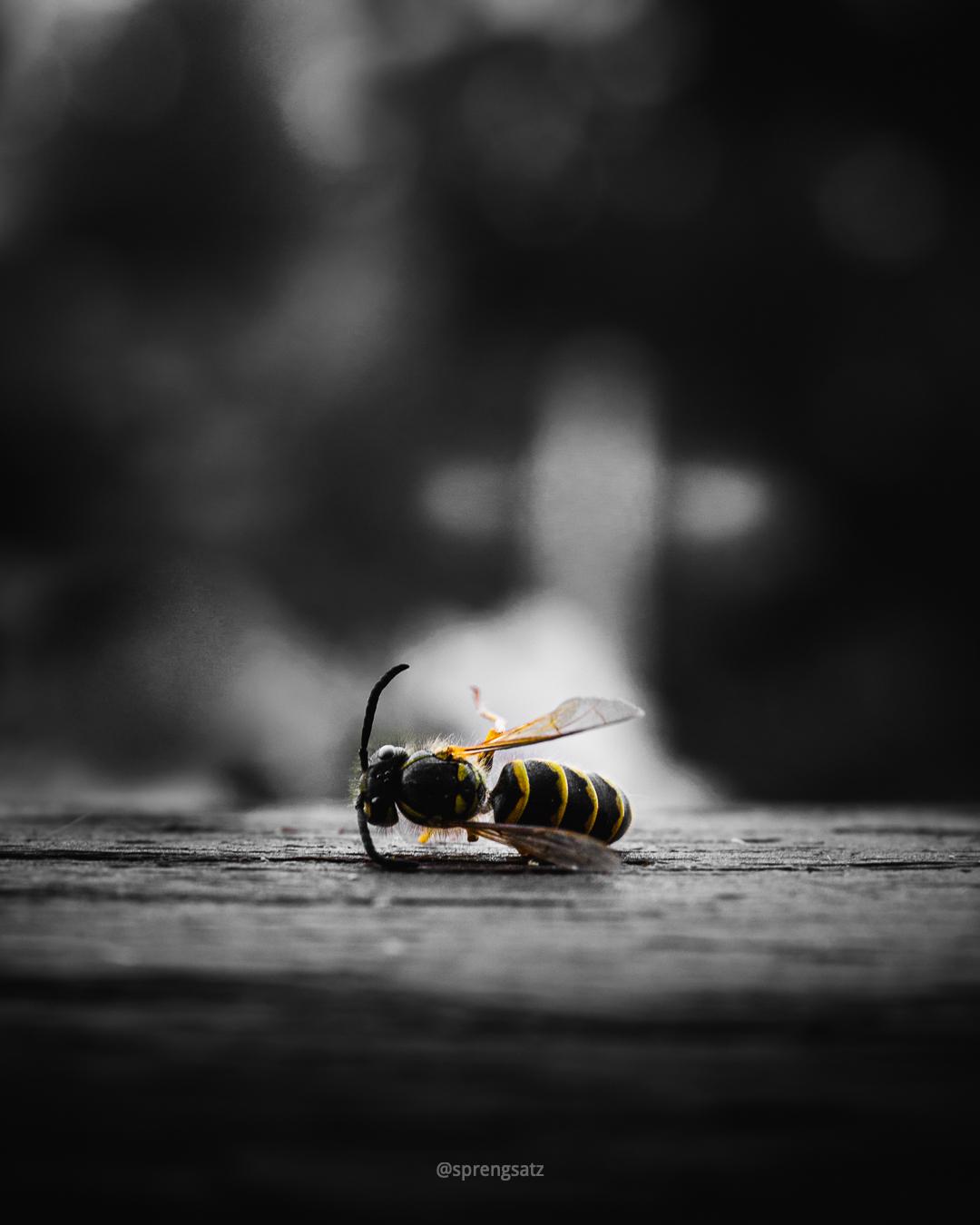 Macroaufnahme einer toten Wespe